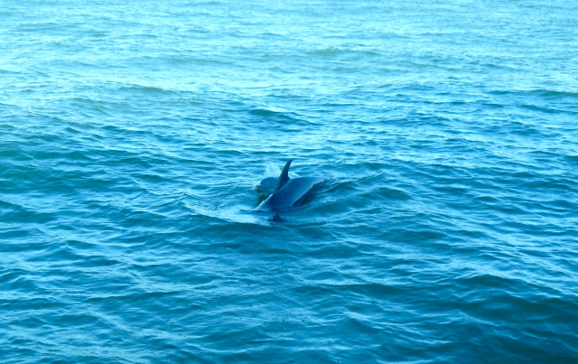 Dolphins, in their natural habitat. Gulf of Mexico off of South Padre Island while on a boat